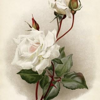 Rose Innocente Pirola ~ Free Vintage Image