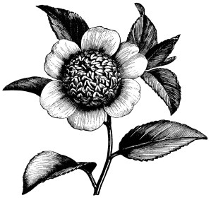 Camellia Japonica Anemonaeflora, camellia flower illustration, black and white clip art, vintage flower clipart, floral graphics free