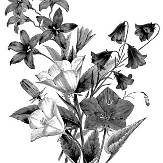Campanula flower, vintage botanical engraving, black and white clip art, floral botanical graphics, bellflower illustration