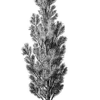 Pine Tree ~ Free Vintage Clip Art