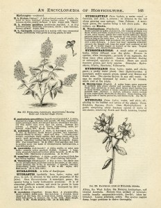 Hydrangea Hortensis, hydrangea flower, vintage book page graphics, vintage flower illustration, printable floral image, dictionary of gardening page