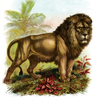 The Lion ~ Free Vintage Illustration