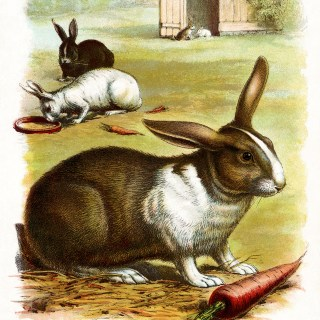 The Rabbit ~ Free Vintage Illustration