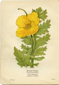horned poppy, glaucium flavum, yellow flower printable, vintage flower clip art, floral botanical illustration