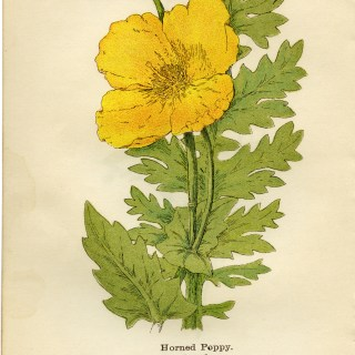 Yellow Horned Poppy ~ Free Vintage Illustration
