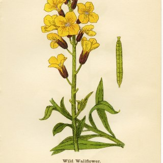 Wild Wallflower ~ Free Vintage Illustration