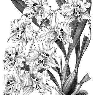 Odontoglossum Crispum ~ Free Vintage Clip Art