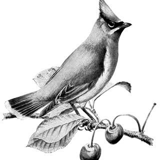 Cedar Waxwing ~ Free Vintage Bird Clip Art