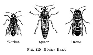 honey bees clip art, black and white graphics, printable bee illustration, worker queen drone bee engraving, free vintage image