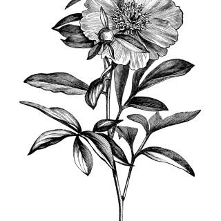 Paeonia Wittimanniana, Tenuifolia Flore-Pleno penony, Peony Albiflora, peony clip art, botanical engraving, black and white graphics, free printable vintage flower