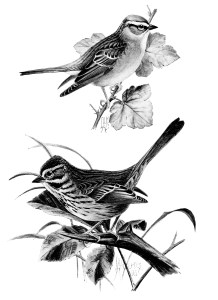 vintage bird clip art, song sparrow, chipping sparrow, black and white graphics, printable bird illustration, bird on branch, Louis Agassiz Fuertes