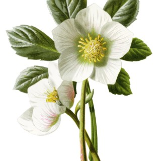 Christmas Rose Floral Illustration