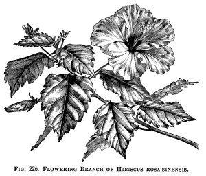 hibiscus clip art, flowering branch, flower clip art, vintage botanical engraving, black and white graphics, free printable flower
