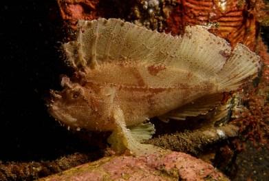 Taenianotus tricanthus