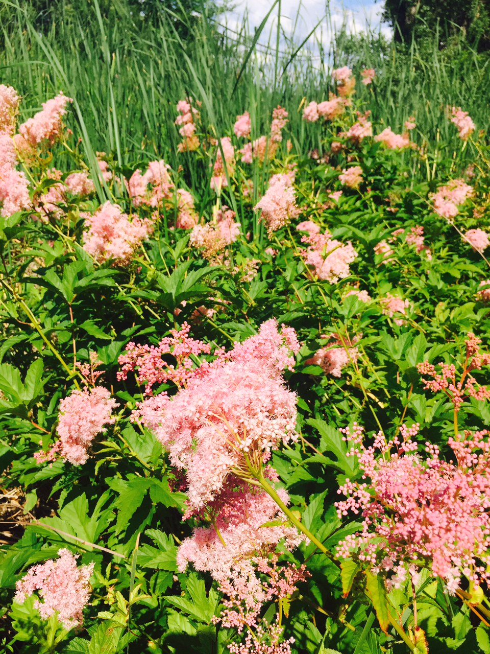 Sparkling Prairie Usda Queen Lyscented Saving One Weed At A Time Ist Queen Prairie Facts Rose Family Prairie A Wetland Plant Queen houzz-02 Queen Of The Prairie