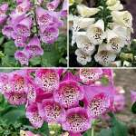 The Digitalis Camelot Trio from Thompson & Morgan