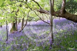 Bluebell wood at Muncaster Castle