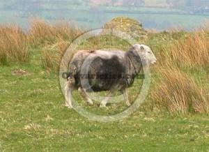 A Herdiwck Sheep grazing in Rannerdale, Buttermere.