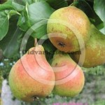 Blakeney Red Perry Pear