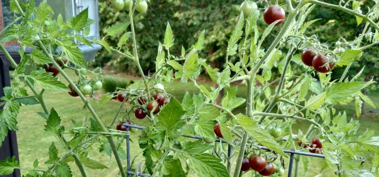 The Tomato Bucket Experiment – An Attractive New Twist on Growing Patio Tomatoes