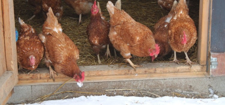 Winter Chicken Care Tips – How To Keep Your Coop & Flock Safe & Warm!