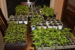 Plants ready to head for the garden and landscape!