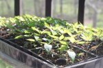"""Plants need to be """"hardened"""" off to adjust to real light and temperatures before planting outdoors"""