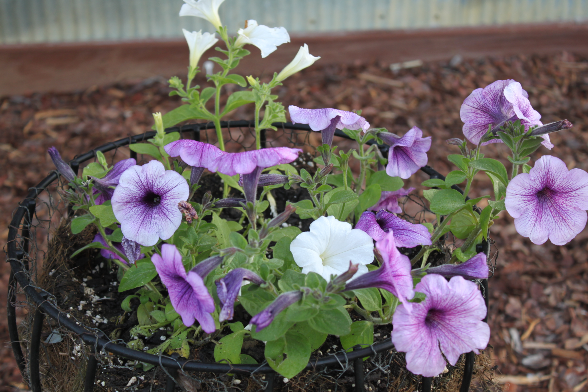 Photos from the farm spring is in full gear old world - Wave petunias in containers ...