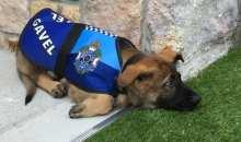 Για ποιο λόγο η αστυνομία θα μπορούσε να απολύσει αυτό τον σκύλο;