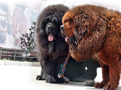 Tibetan-Mastiffs