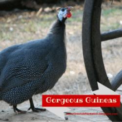 Gorgeous Guineas
