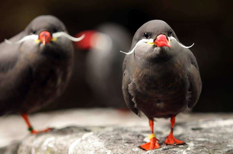 the inca tern  birds with mustaches photo   One Big Photo Animal Photography