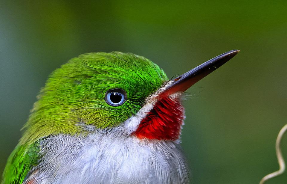 chi-cui bird