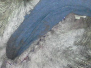 Stitches across his neck. the white thing is a drain. The blue is turtleneck type covering so he doesn't scratch