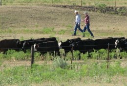 Bud Williams working cattle as part of a workshop. (photo courtesy of stockmanship.com)