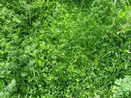 gerrish-lovely-clover