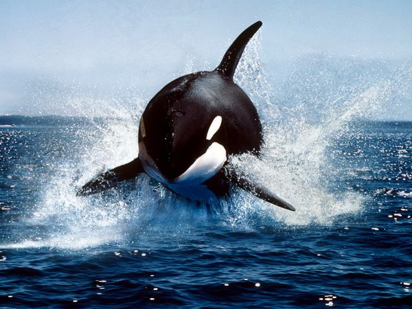 killer whale orca pacific ocean sailboat travel