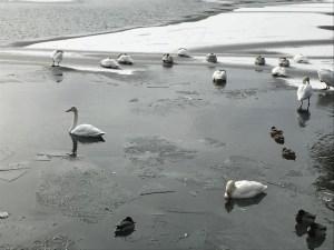 ↑白鳥も寒さで固まってます。(2018年1月22日)