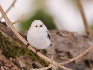 野鳥観察会用 シマエナガ