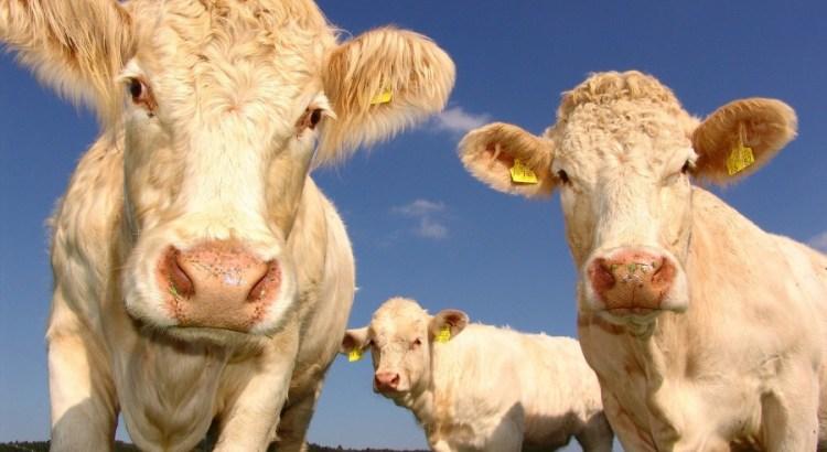 Investir dans une vache