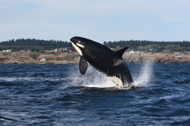 zdroj: melisa pinnow / http://www.sanjuanorcas.com/orca-encounters-blog/a-mix-of-j-k-and-l-pod-on-82415