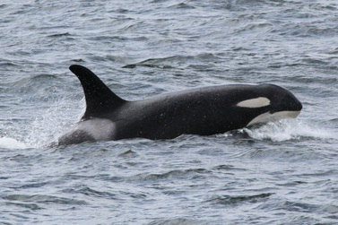 ZDROJ: http://www.sanjuanorcas.com/orca-encounters-blog/j-pod-group-a-encounter-on-61514