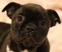Small Of Boston Terrier Pug Mix
