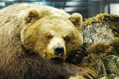 russian bear photo