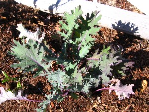 after kale clearcut garden