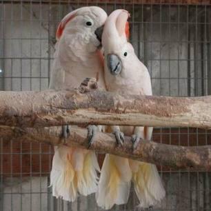 cockatoo-mollucan
