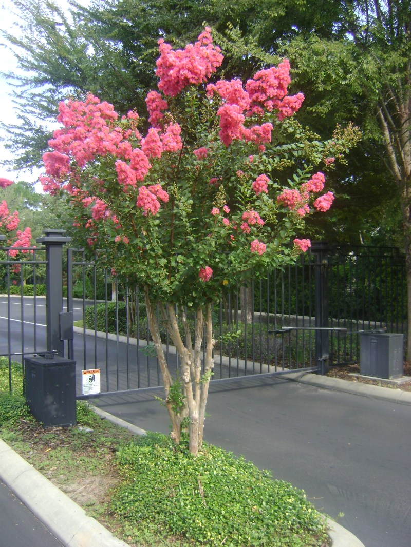 Large Of Red Crape Myrtle