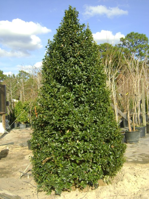 Medium Of East Palatka Holly