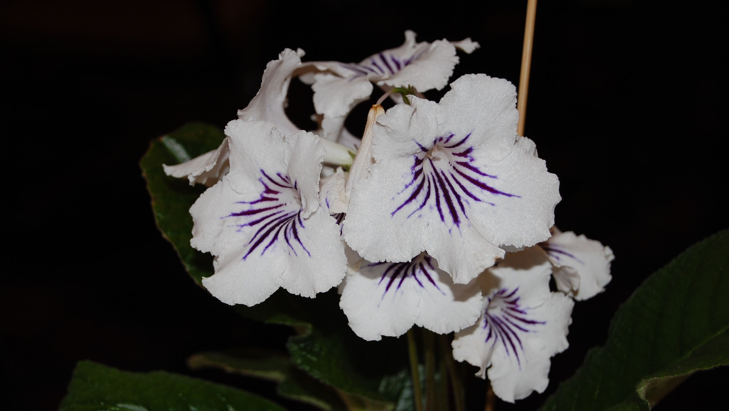 Sweet Ohio African Violet Society Annual Show Sale Ohio African Violet Society Salewill Be Held September 2018 At Kingwood Center Gardens 2018 Osavs Show houzz-02 African Violets For Sale