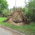 Powalone drzewo_ul.WBiTM_01